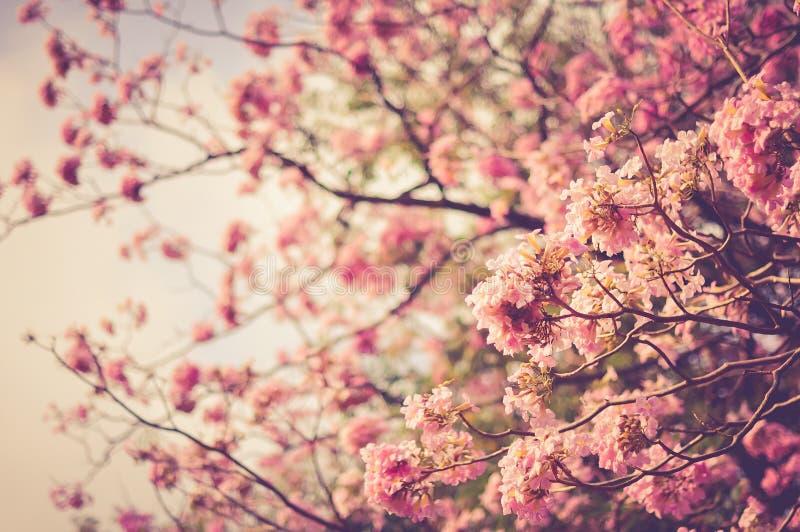 Estilo do vintage do fundo do borrão da flor de cerejeira da mola foto de stock royalty free