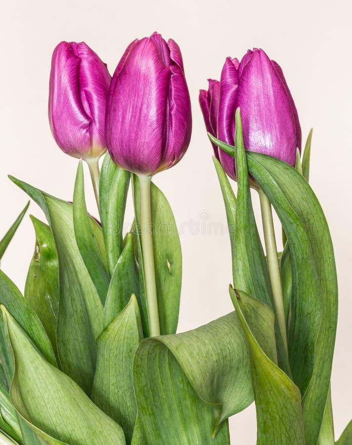 Estilo retro das tulipas roxas fotografia de stock