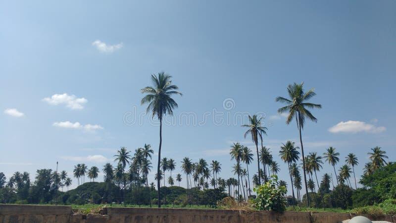 Estiramento de árvores de coco fotos de stock