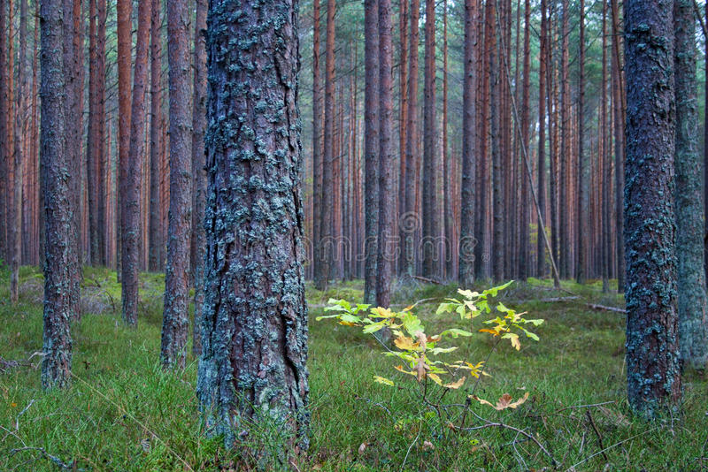 Estländsk pinjeskog i aututmnen arkivbilder