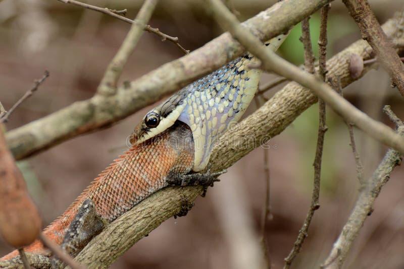 Esto es un camaleón en un árbol fotos de archivo libres de regalías