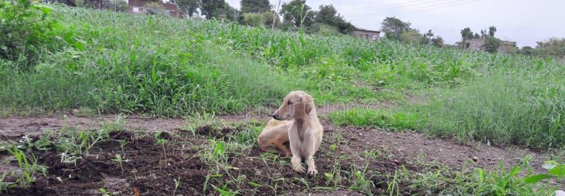 Esto es un perro hermoso, él se está sentando, él es extracto verde lindo del vizsla de hierba del animal doméstico del perrito d imagenes de archivo