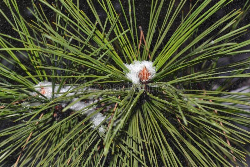 Esto es una rama del pino con nieve imágenes de archivo libres de regalías