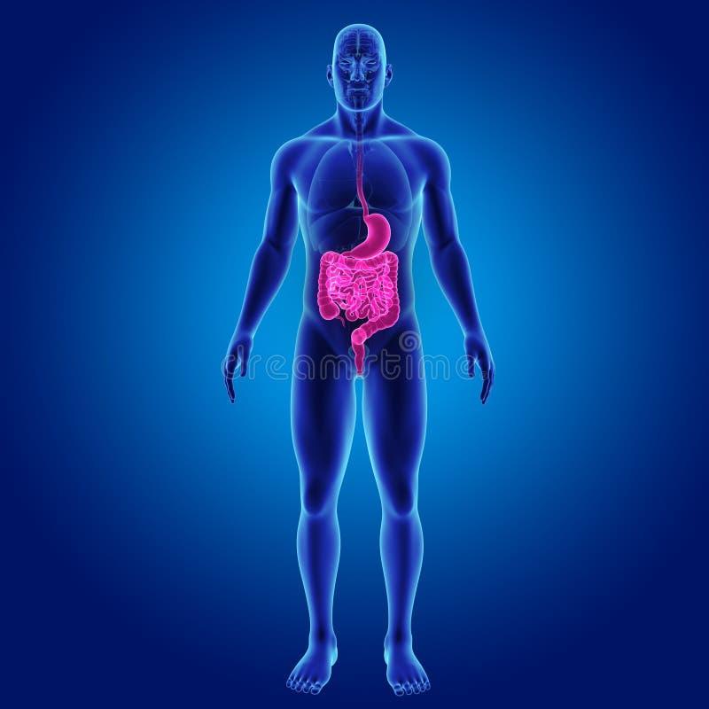 Estomac et intestin avec la vue antérieure d'organes illustration de vecteur