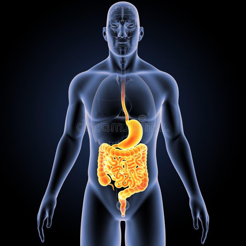 Estomac et intestin avec la vue antérieure d'organes illustration stock