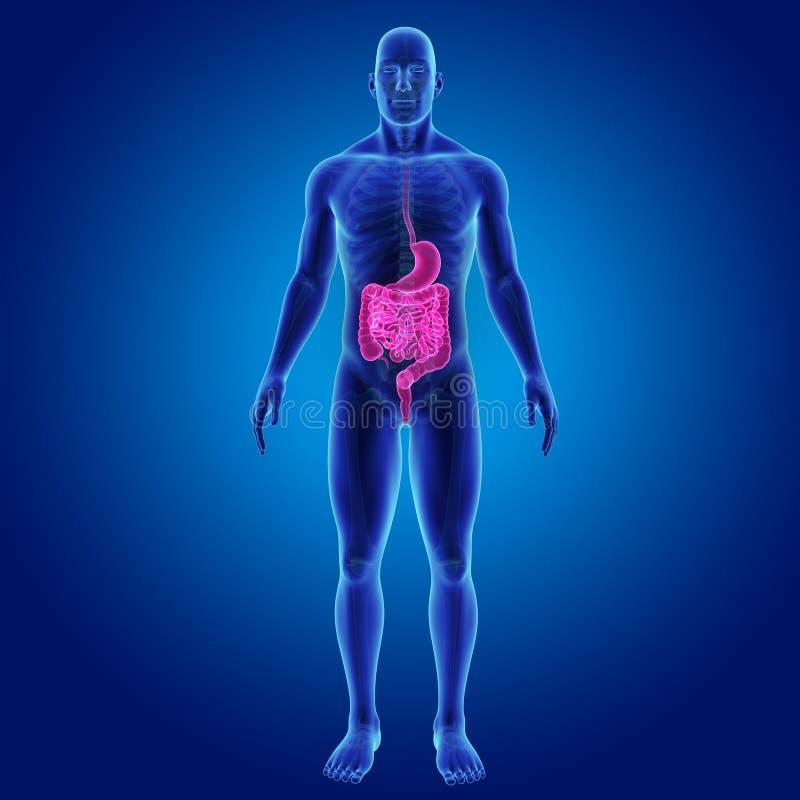 Estomac et intestin avec la vue antérieure de corps squelettique illustration libre de droits