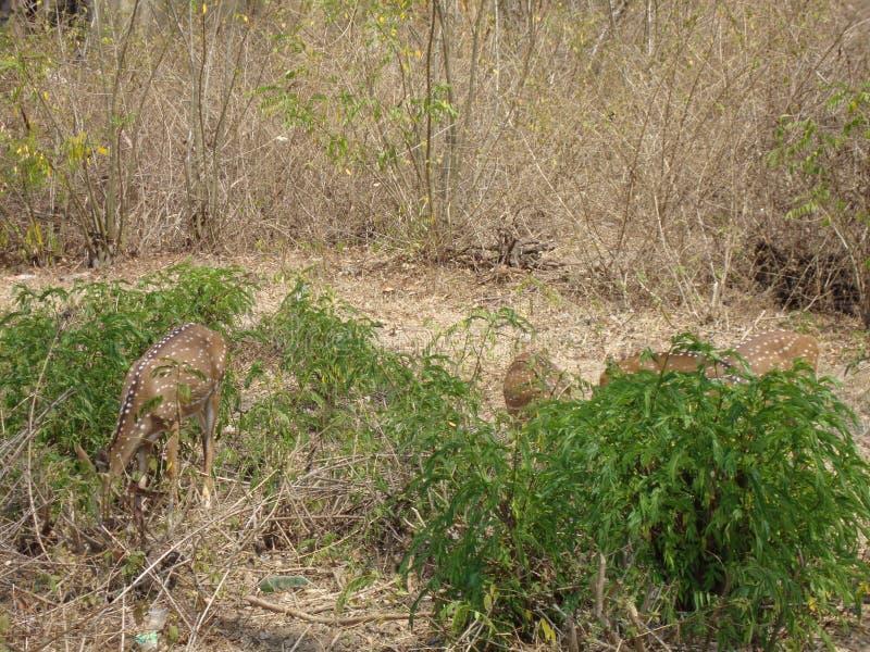 Estomac remplissant de cerfs communs en mangeant l'herbe image stock