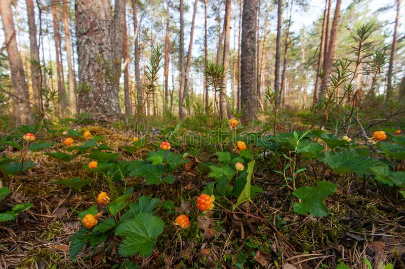 Forest floor covered with Cloudberries stock image