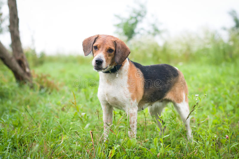 Estonian hound portrait. Outdoor at meadow looking at camera stock photo