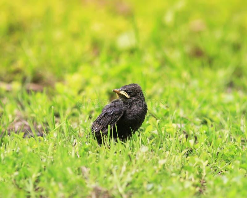 Estorninho engraçado do pintainho com um bico amarelo que senta-se na grama e imagem de stock