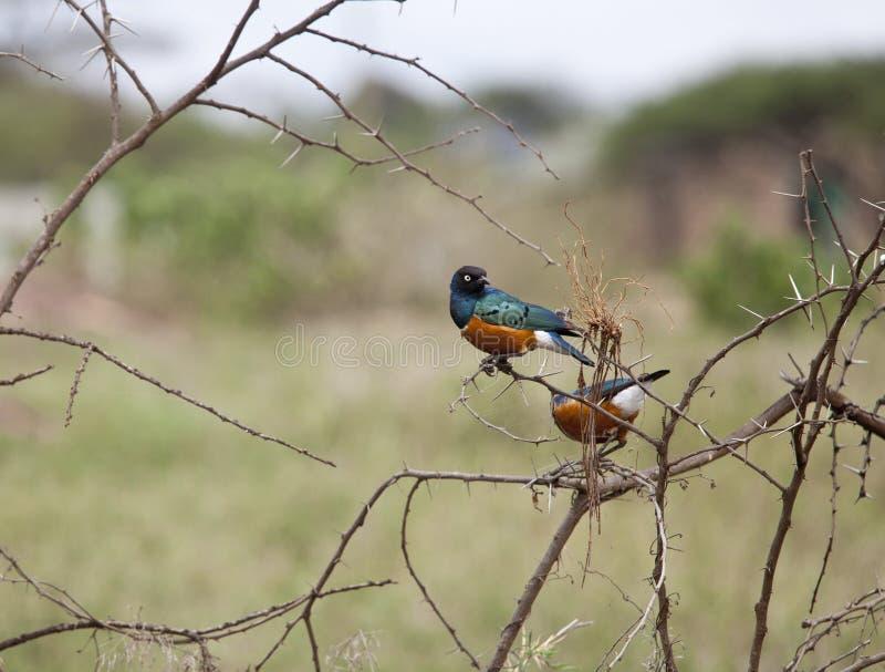 Estorninho magnífico em Kenya foto de stock