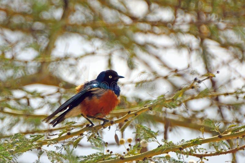 Estorninho magnífico, lago Nakuru National Park, Kenya fotos de stock royalty free