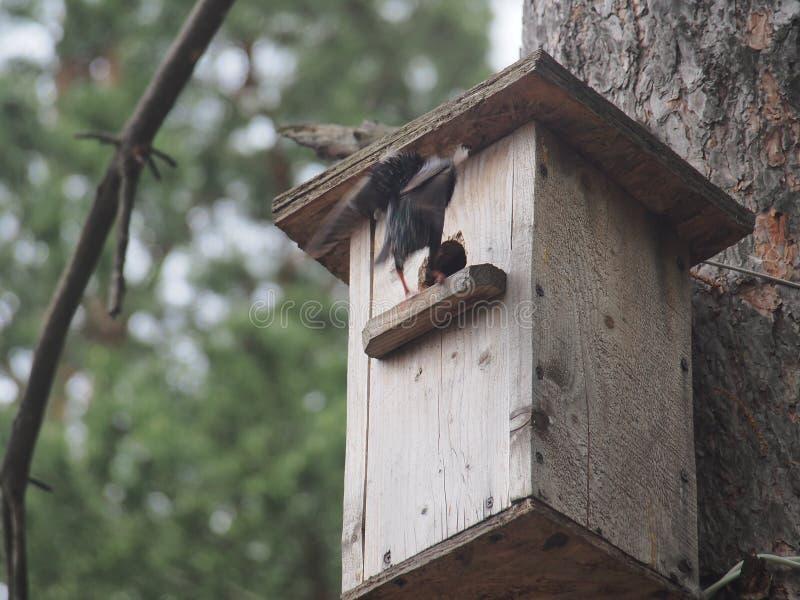 Estorninho perto do avi?rio Bird& artificial x27; ninho de s imagens de stock