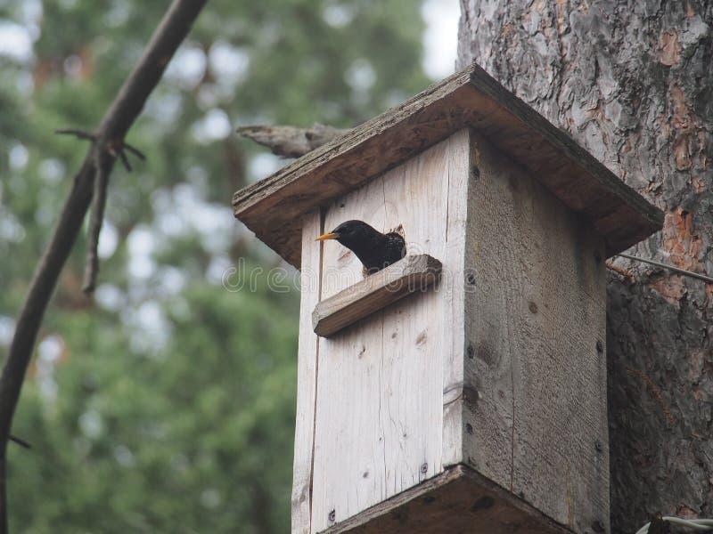 Estorninho perto do avi?rio Bird& artificial x27; ninho de s foto de stock royalty free