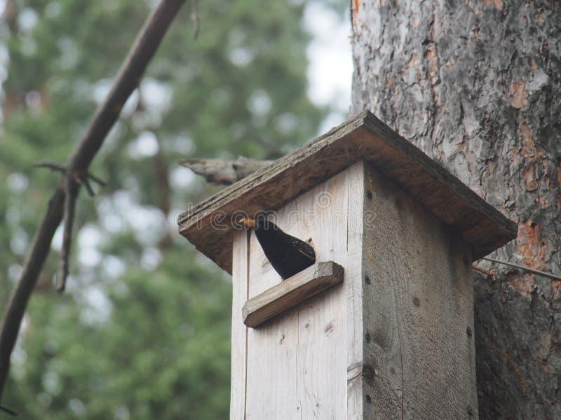 Estorninho perto do avi?rio Bird& artificial x27; ninho de s imagens de stock royalty free