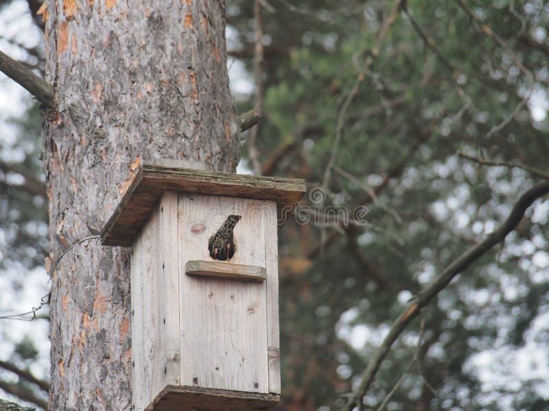 Estorninho perto do avi?rio Bird& artificial x27; ninho de s fotografia de stock royalty free