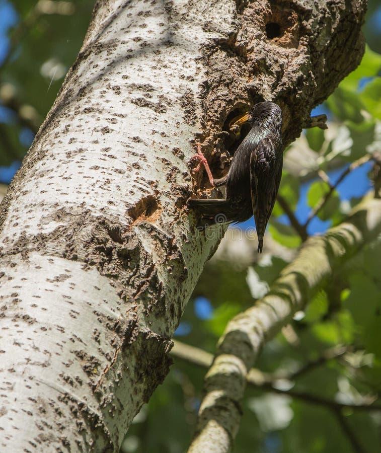 Estornino de la madre que alimenta un polluelo imagenes de archivo