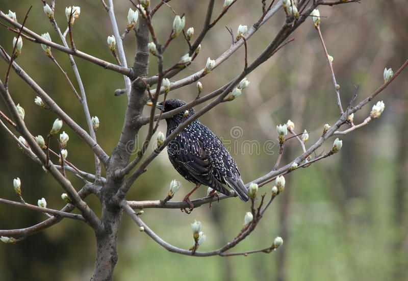 Estornino en la rama del árbol
