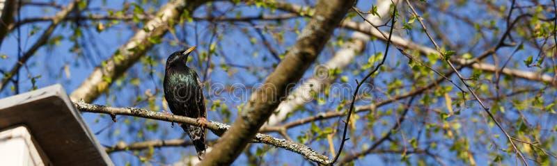 Estornino en una rama del abedul en primavera cerca de una pajarera contra el cielo azul en un día soleado foto de archivo