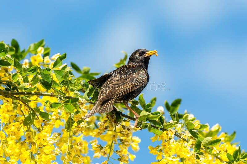Estornino encaramado en flores amarillas brillantes del codeso con el fondo del cielo azul fotos de archivo