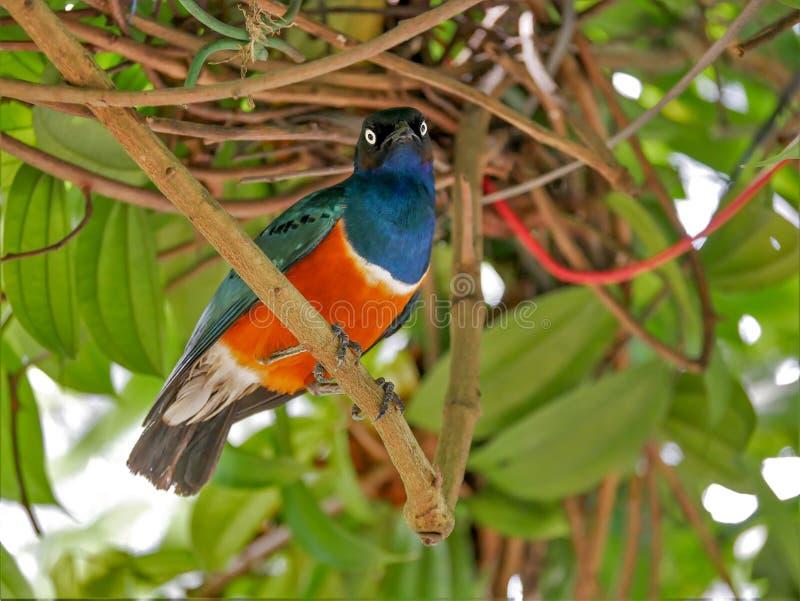 Estornino magnífico, Kuala Lumpur Bird Park fotos de archivo
