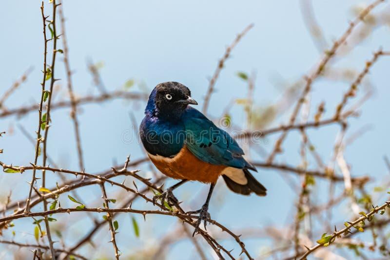 Estornino magnífico, pájaro hermoso fotografía de archivo