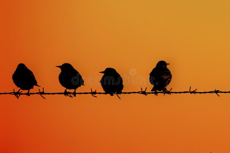 4 estorninos en un alambre barrado en la puesta del sol imagen de archivo