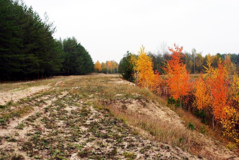 A estrada arenosa rolada na borda dos vidoeiros amarelos alinha em uns lado e pinho em outro, céu chuvoso nebuloso fotografia de stock royalty free