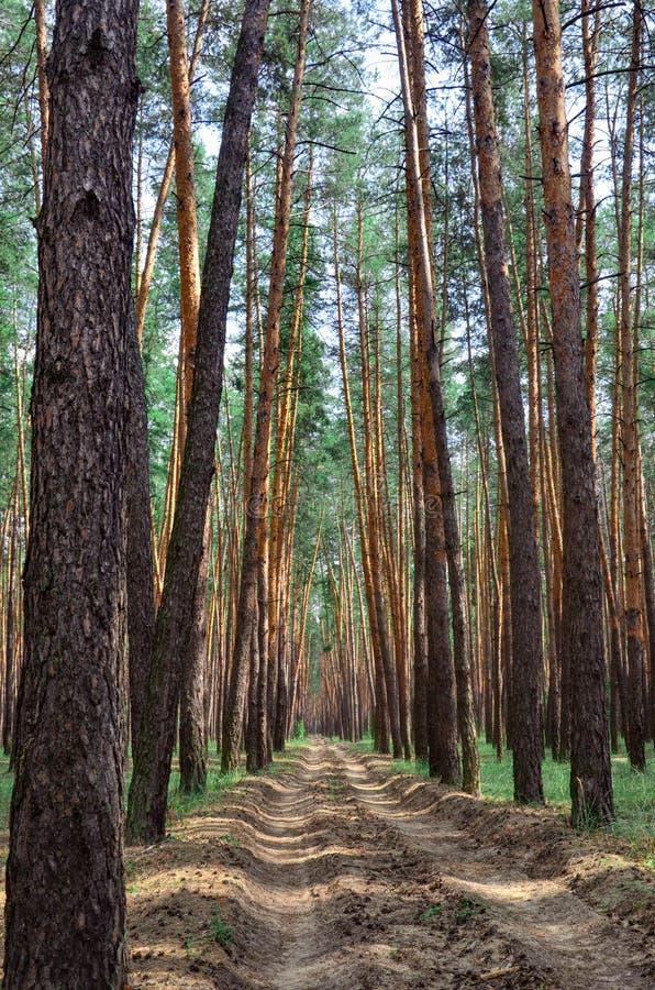 A estrada através da estrada de floresta do pinho entre árvores ver?o, dia ensolarado foto de stock