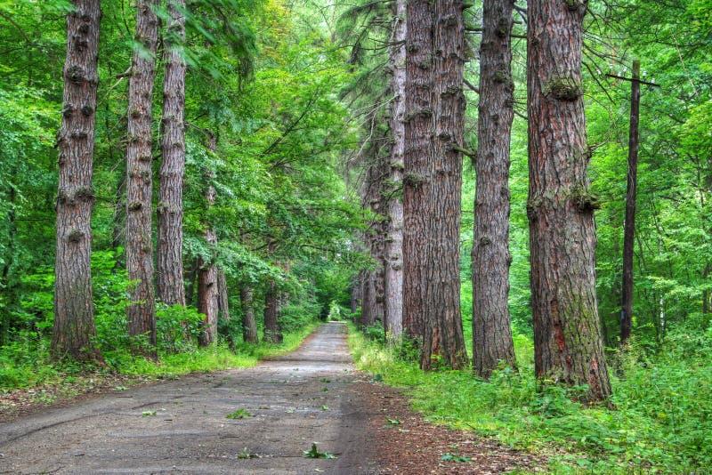 Estrada através da floresta velha do larício fotografia de stock royalty free