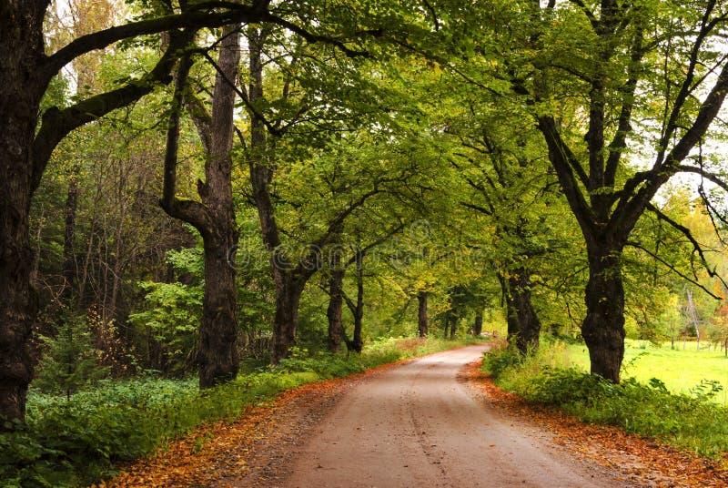 Estrada colorida da silvicultura entre carvalhos outonais fotografia de stock
