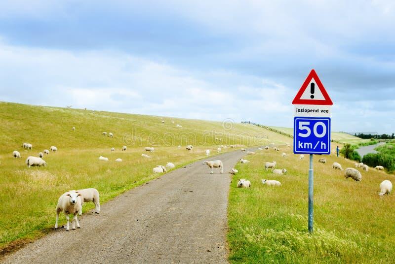 Estrada com carneiros fotos de stock royalty free