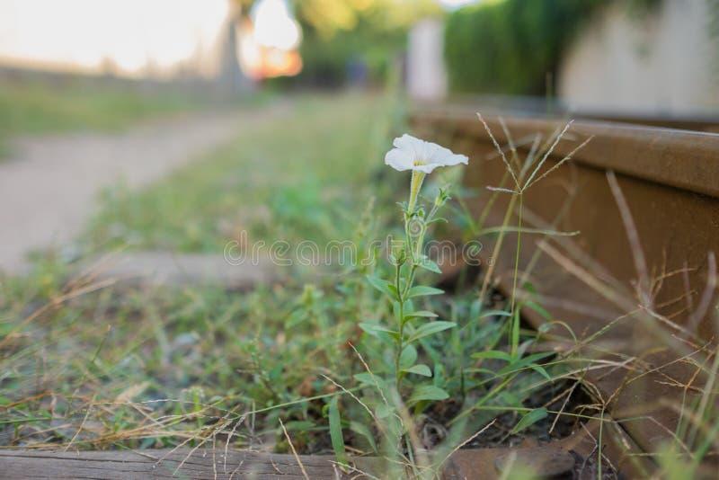 Estrada de ferro velha e a flor foto de stock royalty free
