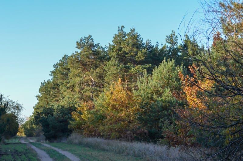 Estrada de floresta da sujeira entre os pinhos verdes altos e os carvalhos amarelos novos Dia claro do outono C?u azul fotos de stock