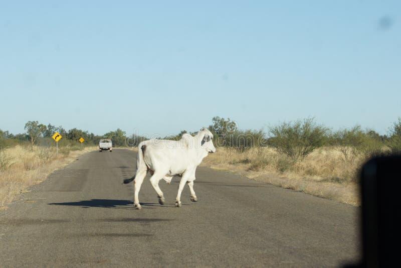 Estrada do cruzamento de Bull do brâmane fotografia de stock
