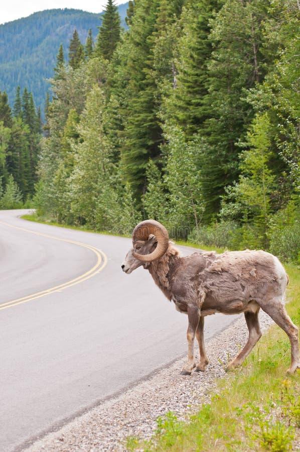 Estrada do cruzamento dos carneiros de Bighorn nas Montanhas Rochosas fotos de stock