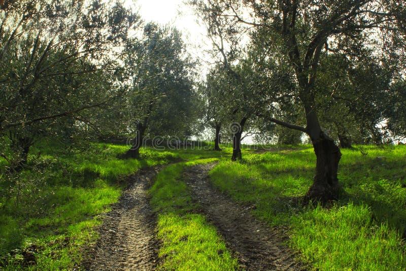 Estrada entre oliveiras Solo da estrada de floresta fotos de stock