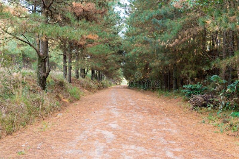 A estrada entre os pinhos foto de stock