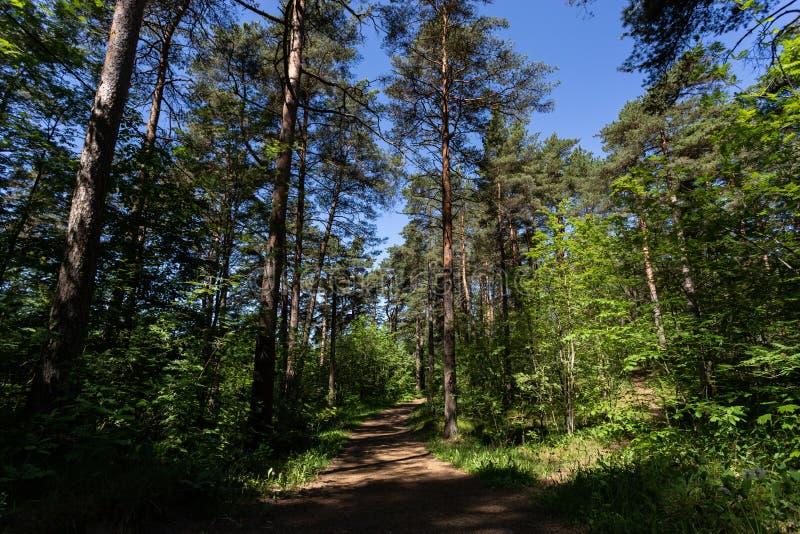 Estrada na floresta do pinho imagens de stock