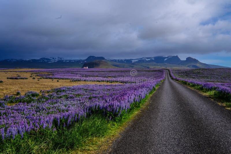 Estrada no meio de um campo floral roxo com montanhas à distância sob um céu nublado imagens de stock