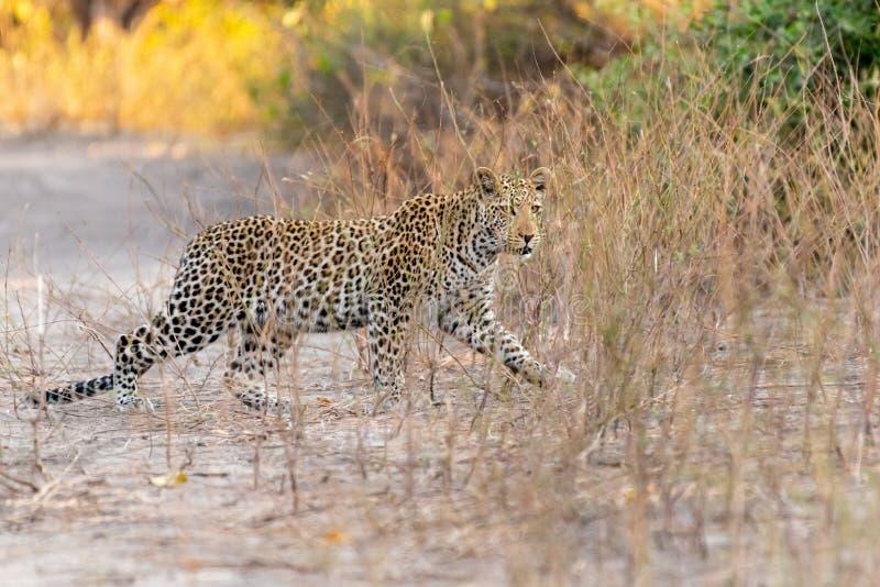 Estrada nova do cruzamento do leopardo no chobe em botswana em África fotografia de stock royalty free