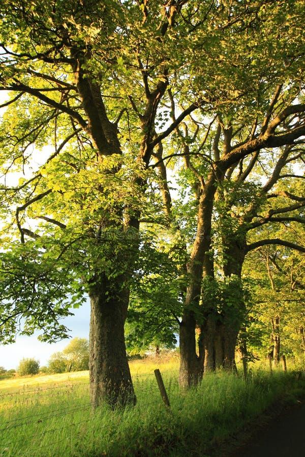 Estrada rural velha bonita com carvalhos velhos fotografia de stock royalty free