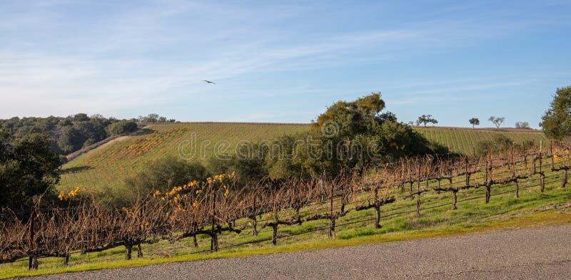 Estrada secundária através dos vinhedos da uva de Califórnia pinot nos EUA imagem de stock