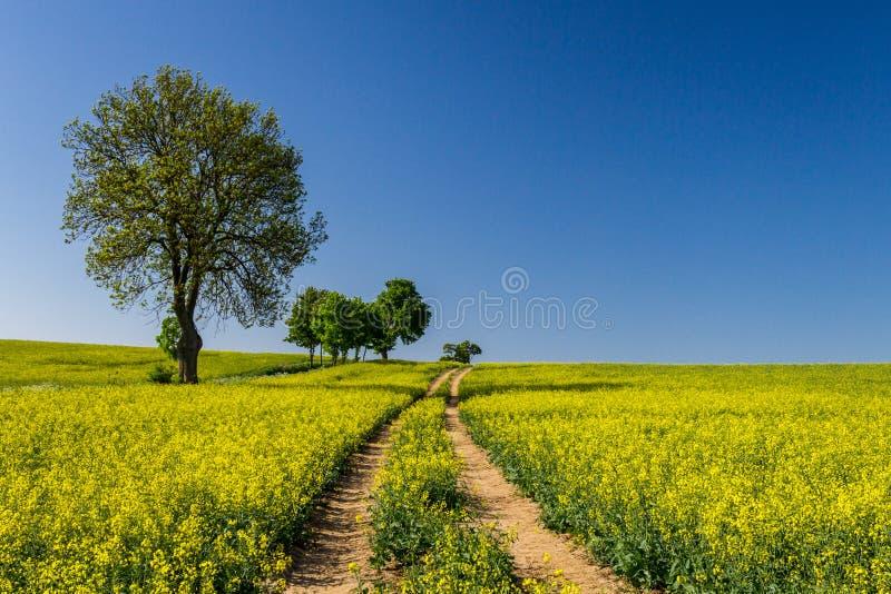 Estrada secundária e campo amarelo da violação no verão fotos de stock royalty free