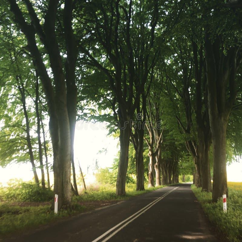 Estrada sob árvores de faia enormes imagens de stock