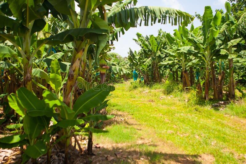 Estrada vazia na plantação de banana, Guadalupe imagens de stock