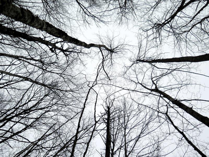 Estratto degli alberi di betulla che raggiungono fino al cielo nell'inverno fotografie stock