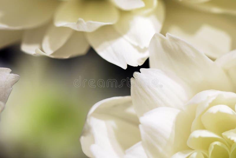 Estratto dei fiori bianchi immagini stock libere da diritti