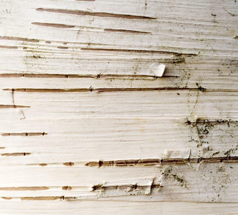 Estratto della corteccia di betulla immagine stock