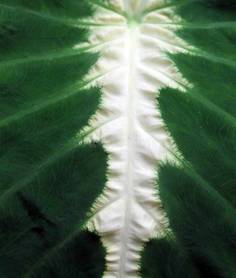 Estratto della foglia della pianta tropicale fotografie stock